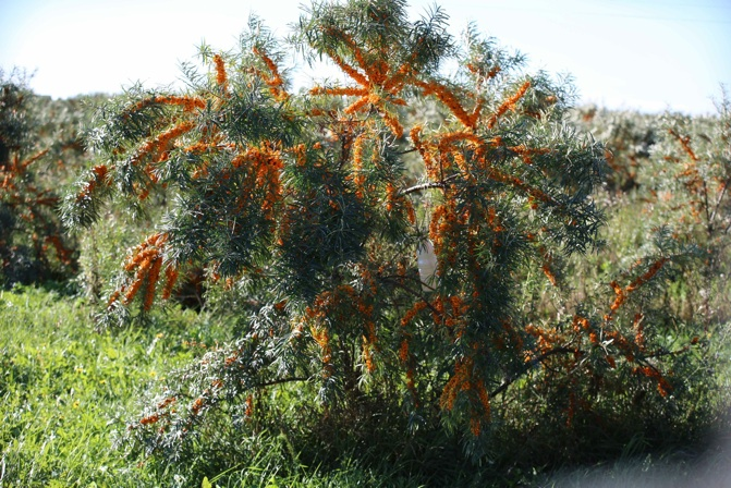 Frozen sea buckthorn berries - Growing sea buckthorn ...